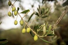 Конец-вверх ветви оливкового дерева Стоковое Изображение RF