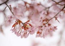 Конец-вверх вишневых цветов весной Стоковые Изображения