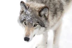 Конец-вверх волка тимберса в снеге зимы Стоковые Фотографии RF