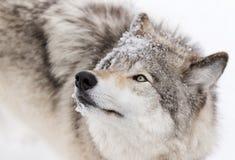 Конец-вверх волка тимберса в снеге зимы Стоковые Изображения RF