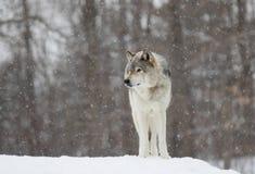 Конец-вверх волка тимберса в снеге зимы Стоковое фото RF