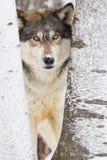 Конец-вверх волка тимберса Стоковая Фотография