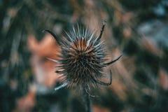 Конец-вверх высушенного плодоовощ fullonum dipsacus стоковое изображение