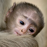 Конец-вверх гиббоновых младенца темнокожих в национальном парке Ranthambore Стоковая Фотография RF