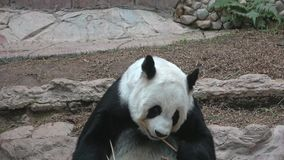Конец-вверх гигантской панды обеда Chiang Mai, Таиланд акции видеоматериалы