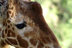 Конец-вверх глаза ` s жирафа Стоковое Фото