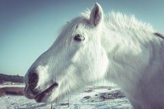 Конец-вверх головы белой лошади в wintertime Стоковые Изображения RF