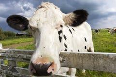 Конец-вверх головы коровы голландца Стоковые Изображения RF