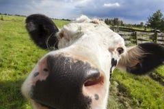 Конец-вверх головы коровы голландца Стоковые Фото