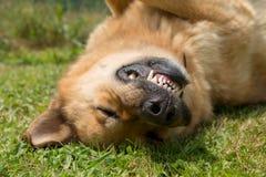 Конец-вверх головы собаки немецкой овчарки стоковая фотография rf