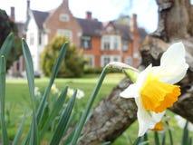 Конец-вверх головы с запачканной предпосылкой, имущества daffodil дома Chorl стоковое изображение