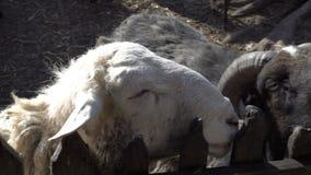 Конец-вверх голов белой овцы и черной козы с рожками которые рассматривают загородка на солнечный летний день 4K акции видеоматериалы