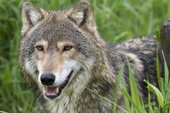 Конец-вверх голов и плечи серого волка Стоковые Фото
