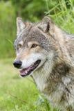 Конец-вверх голов и плечи серого волка Стоковая Фотография