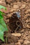 Конец-вверх голубой бабочки Morpho Стоковые Изображения