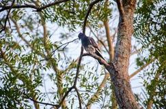 Конец вверх голубя в дереве стоковые фото