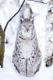 Конец-вверх гордого кота рыся в лесе зимы Стоковые Фото