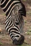 Конец-вверх головы зебры пока пасущ в национальном парке Kruger Стоковая Фотография RF