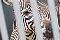 Конец-вверх головы зебры Стоковое Фото