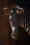 Конец-вверх головы зебры Grevy в солнечности Стоковая Фотография