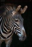 Конец-вверх головы зебры Grevy в темноте Стоковое Изображение