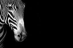 Конец-вверх головы зебры Grevy в mono Стоковые Изображения