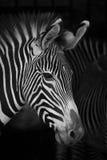 Конец-вверх головы зебры Grevy около других Стоковое Фото