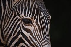 Конец-вверх головы зебры Grevy от стороны Стоковое фото RF
