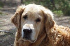 Конец-вверх головы золотого retriever породы собаки, смотрящ камеру, и на предпосылка запачкал землю Стоковое Фото