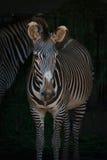 Конец-вверх головы и тела зебры Grevy Стоковые Изображения