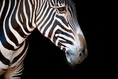 Конец-вверх головы и шеи зебры Grevy Стоковые Изображения