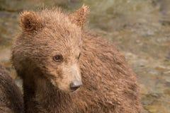 Конец-вверх головы новичка бурого медведя поворачивая Стоковая Фотография RF