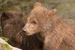 Конец-вверх головы новичка бурого медведя Стоковые Изображения