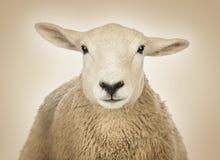 Конец-вверх головы овцы Стоковые Фото