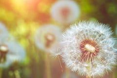 Конец вверх головы blowball одуванчиков под пирофакелами солнца готов начать семена downwind Стоковые Фотографии RF