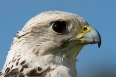 Конец-вверх головы gyrfalcon против голубого неба Стоковые Фото