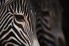 Конец-вверх голов зебры Grevy от стороны Стоковые Фотографии RF