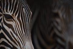 Конец-вверх 2 голов зебры Grevy Стоковое Фото