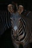 Конец-вверх голов и плечи зебры Grevy Стоковое Фото