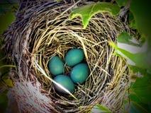 Конец-вверх голубых яичек Робина в гнезде в дереве Стоковое Фото