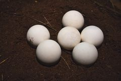 Конец-вверх группы в составе белые, круглые яйца черепахи стоковые изображения