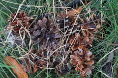 Конец-вверх группы в составе конусы сосны вида l Монтаны Pinus Стоковое Фото