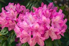Конец-вверх группы цветков рододендрона Catawba стоковые изображения rf