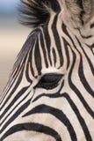 Конец-вверх глаза зебры Стоковое Изображение RF