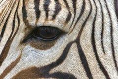 Конец-вверх глаза зебры Стоковое Фото