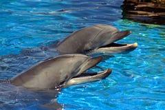 Конец-вверх 2 дельфинов Стоковые Изображения RF