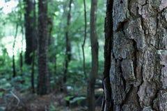 Конец-вверх дерева с большой расшивой с малым районом леса на заднем плане Стоковая Фотография