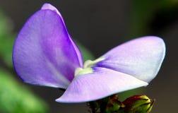 Конец-вверх длинного цветка ` s фасолей Стоковое Изображение RF