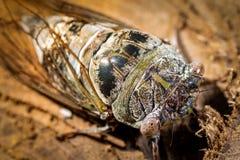 Конец-Вверх достигший возраста сверкать цикады стоковая фотография rf