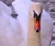 Конец-вверх лебедя Стоковое Изображение RF